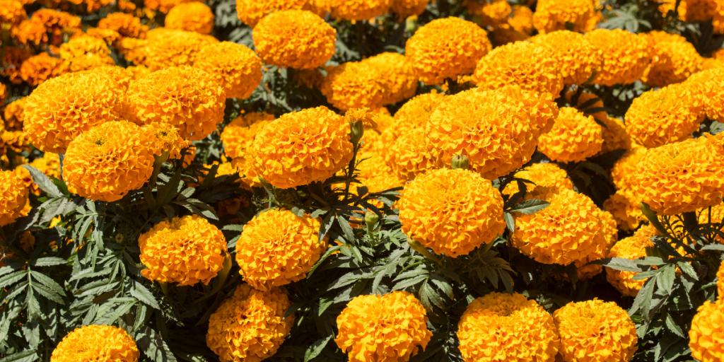 aztec-baby-names-golden-flower