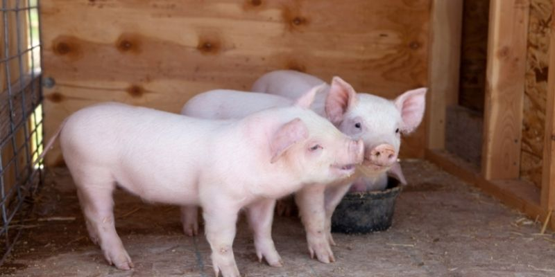 two pink piglets in a barn stall